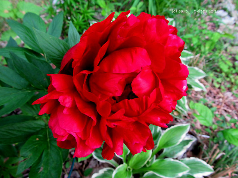Ruby Red Peony