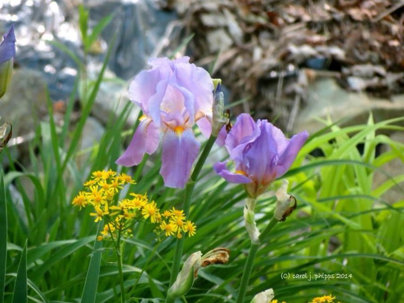Iris and Yellow Stars