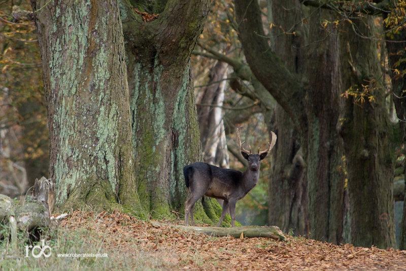 Autumn at the Deer park /  Efterår i Dyrehaven