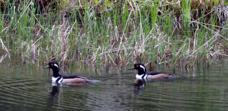 Two Male Hooded Mergansers