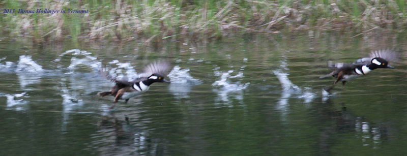 Two Hooded Mergansers Flying away