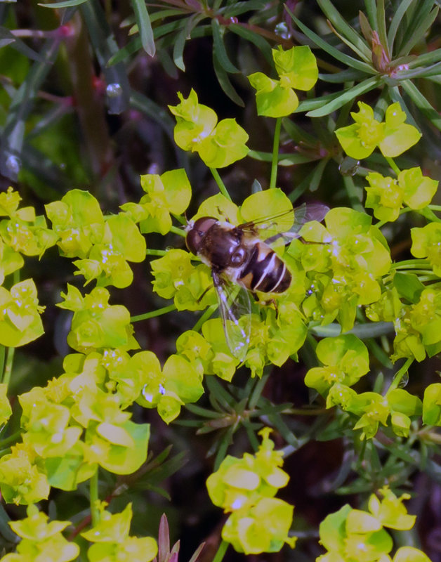 Hoverfly on Spurge