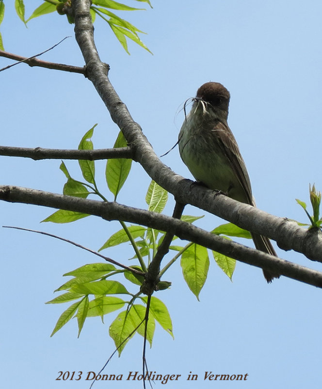 Phoebe With Nesting Material