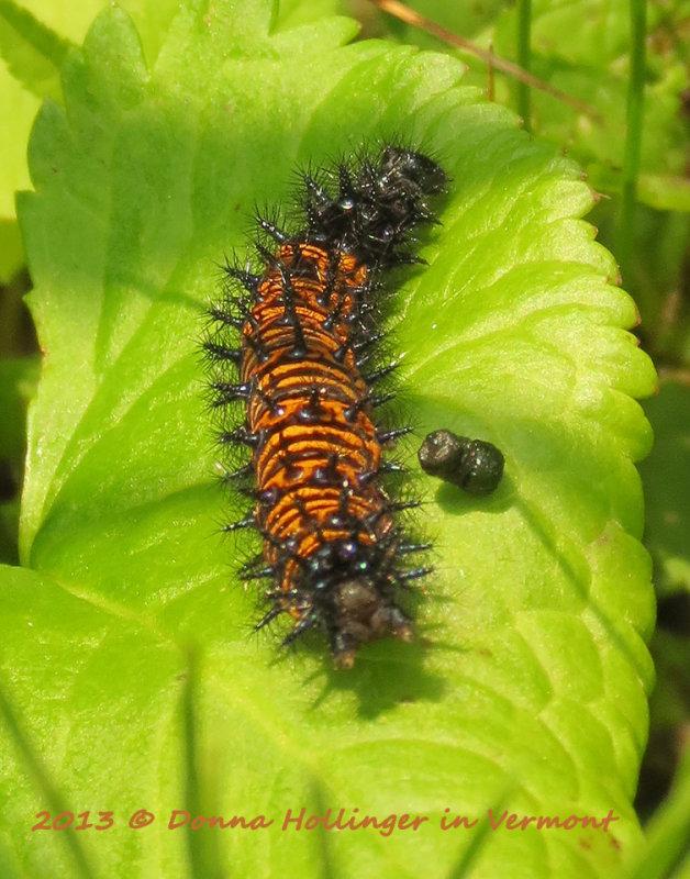 Baltimore Checkerspot Caterpillar