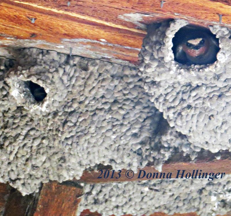 Chimney Swallow waiting for Mama