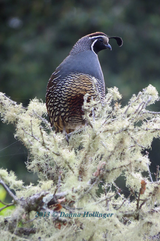 Profile of a lover (Calilfornia Quail)