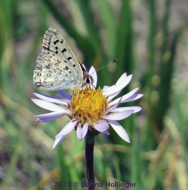 Shasta Blue (Plebejus shasta)