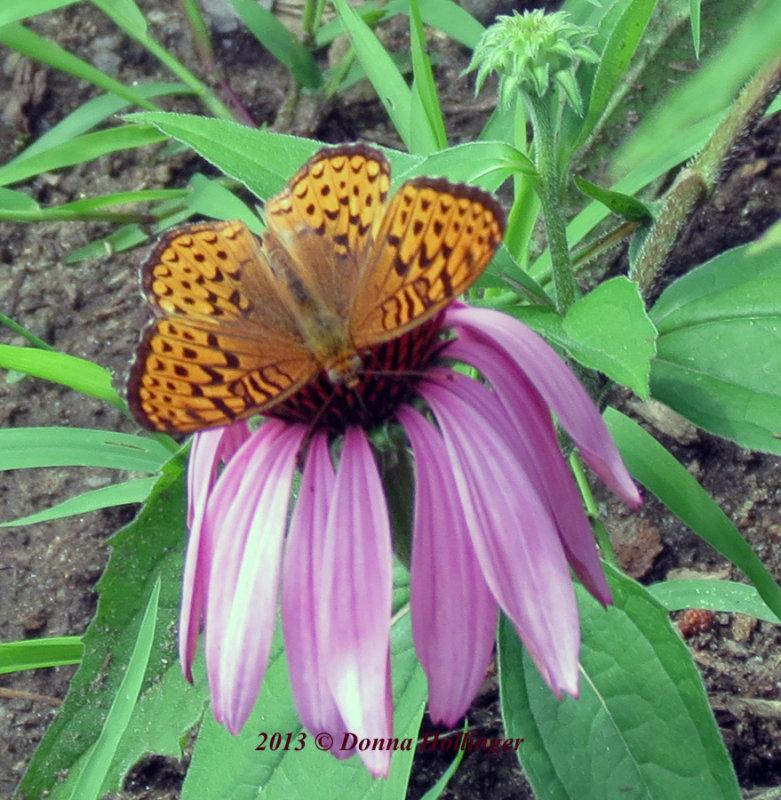 Speyeria aphrodite or (Eastern) Aphrodite on Echinacea