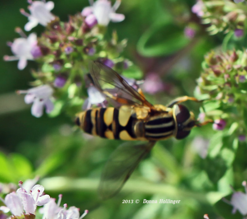 Hoverfly on Thyme
