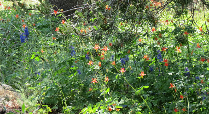 Columbine and Other Wildflowers at Tuolumn Meadows