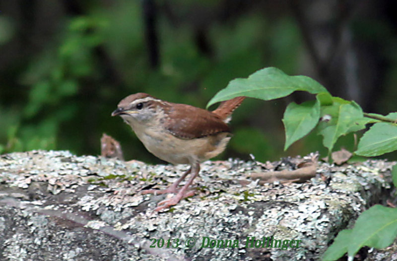House Wren on Stone Wall
