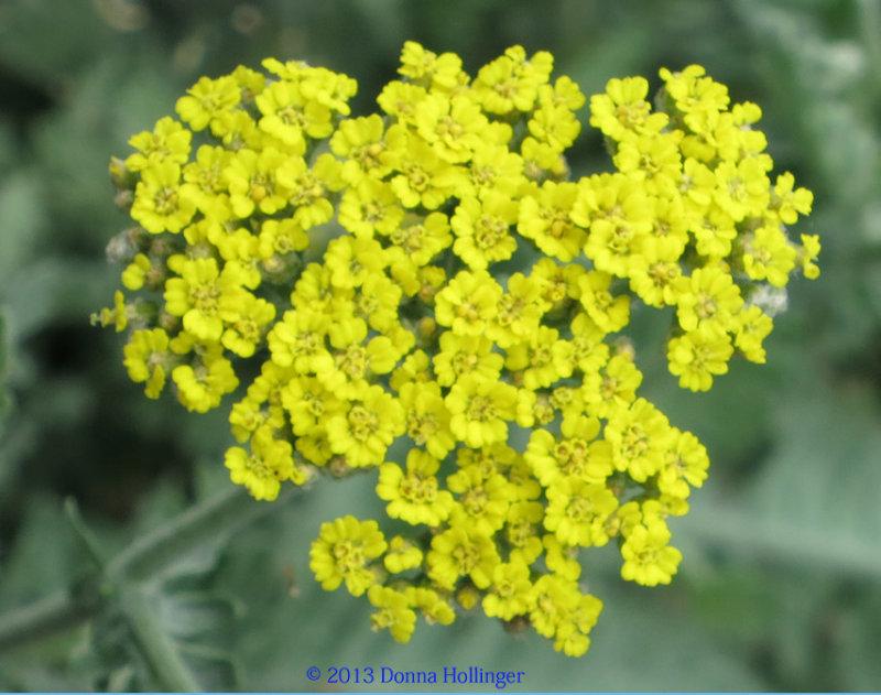 Yellow and Gray-Green Yarrow