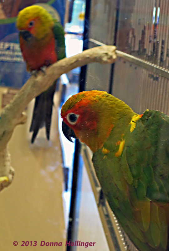 Two Conures Waking Up