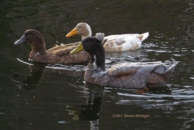 3 hybrid Ducks at Farinas