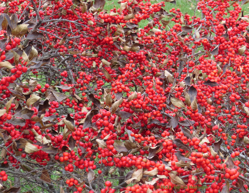 Red Berries Waiting