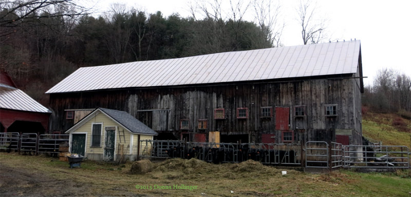 Moores Barn with Cows