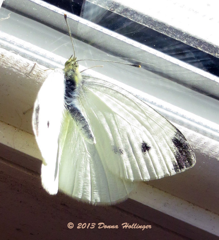 Christmas Butterfly Born in the house!