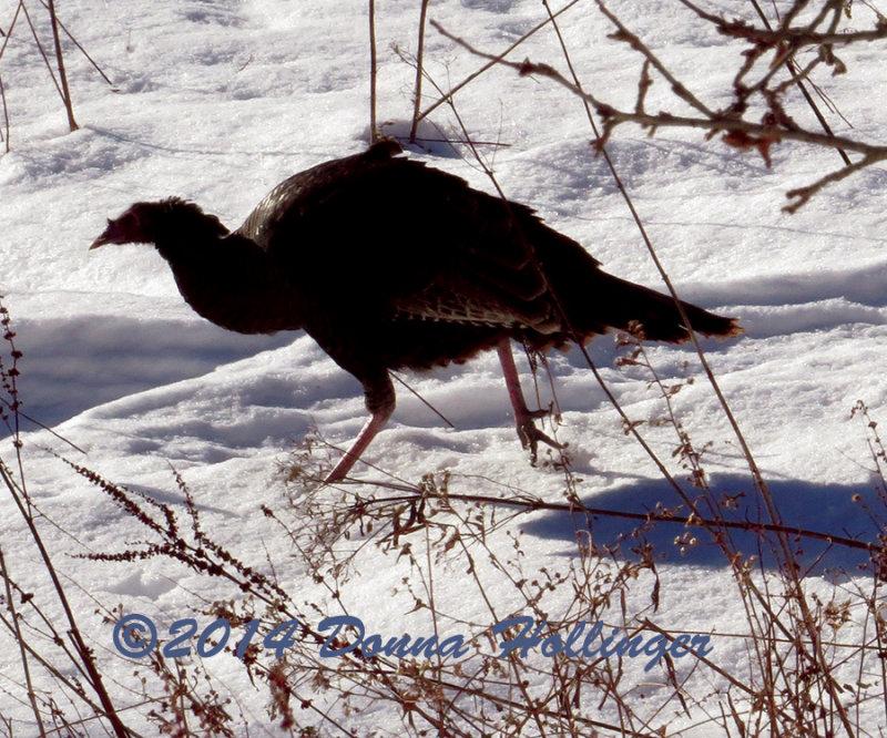 Female or subadult Turkey at the Pond