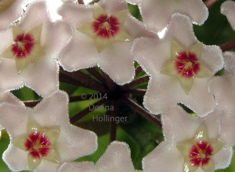Hoya Flowers At Home