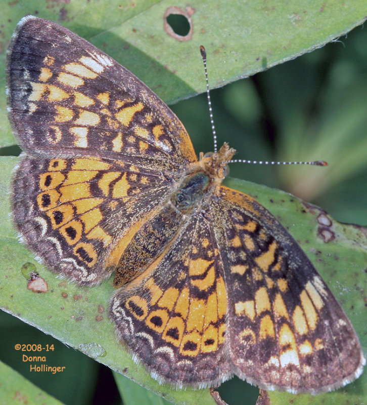 Pearl Crescent?  (Phycoides thoros)
