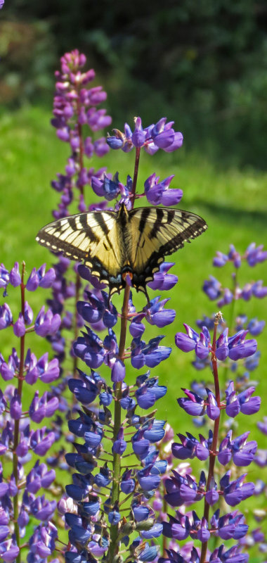 Swallowtail in the Trial Gardens