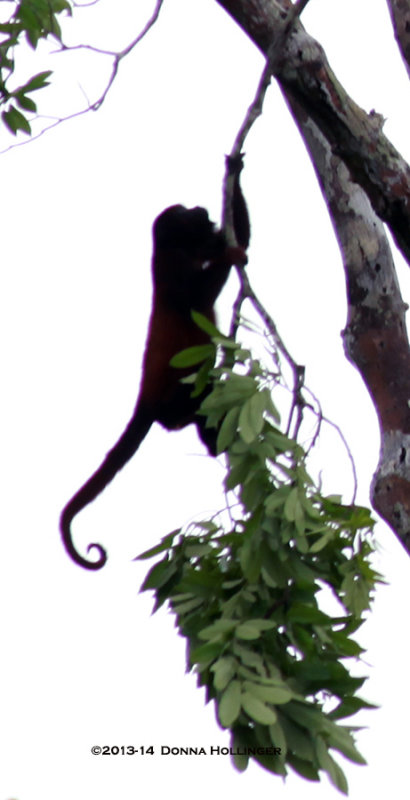 Red Howler Swinging Silhouette