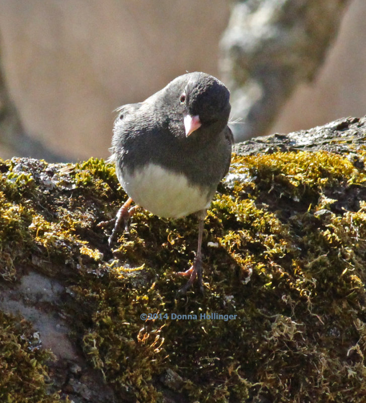 Perky Junco in Our Apple Tree