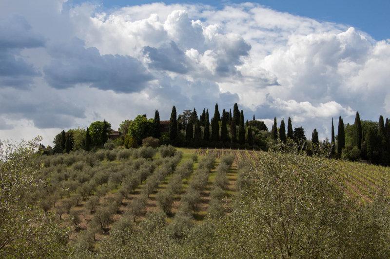 Chianti Vineyard Near Dievole