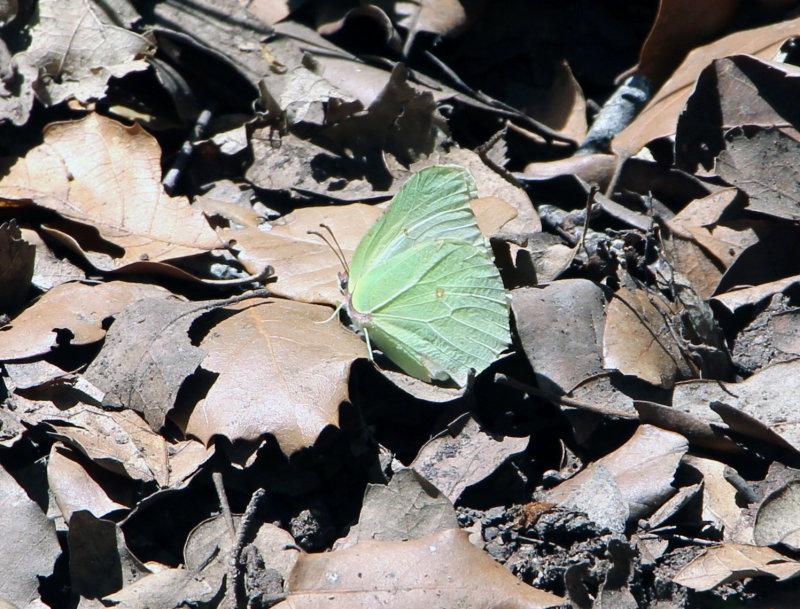Brimstone Butterfly Waiting