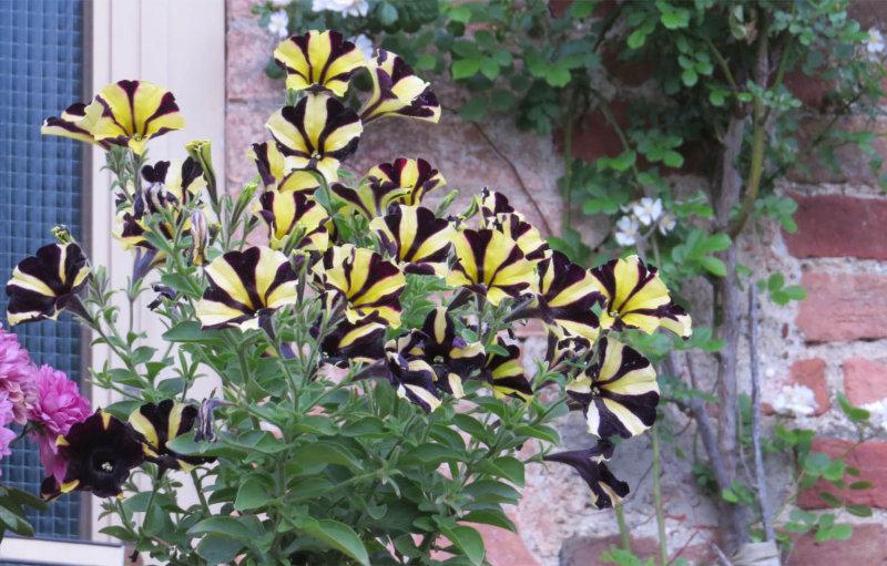 Striped Petunias