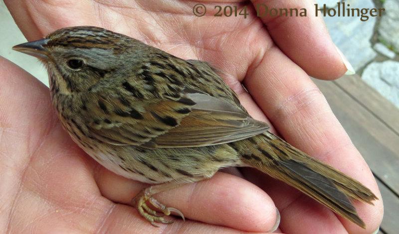 A  Lincolns Sparrow