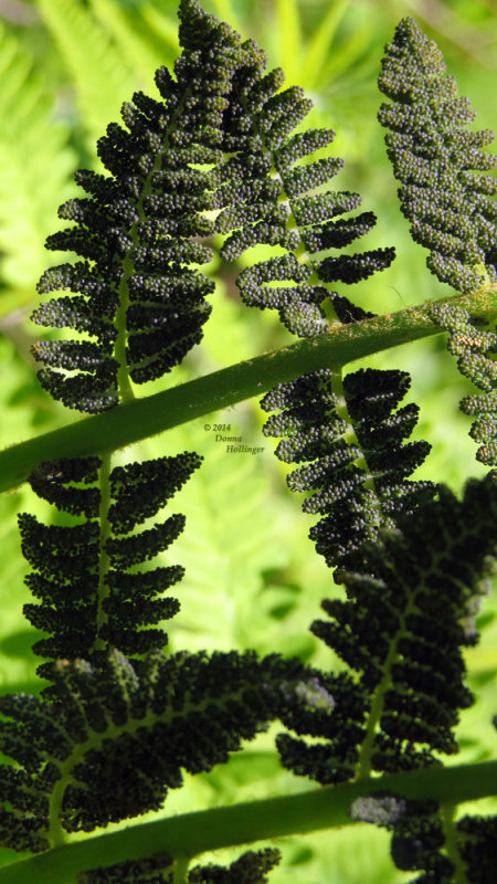 Interrrupted Fern Spores