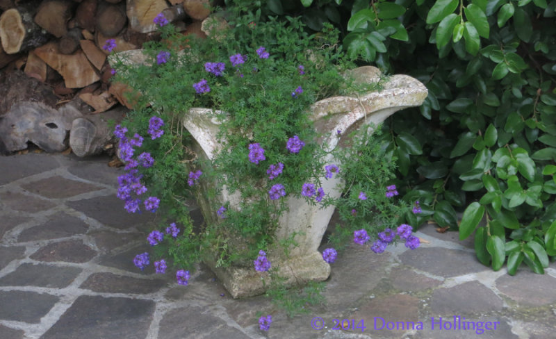 Verbena in an Attractive Container