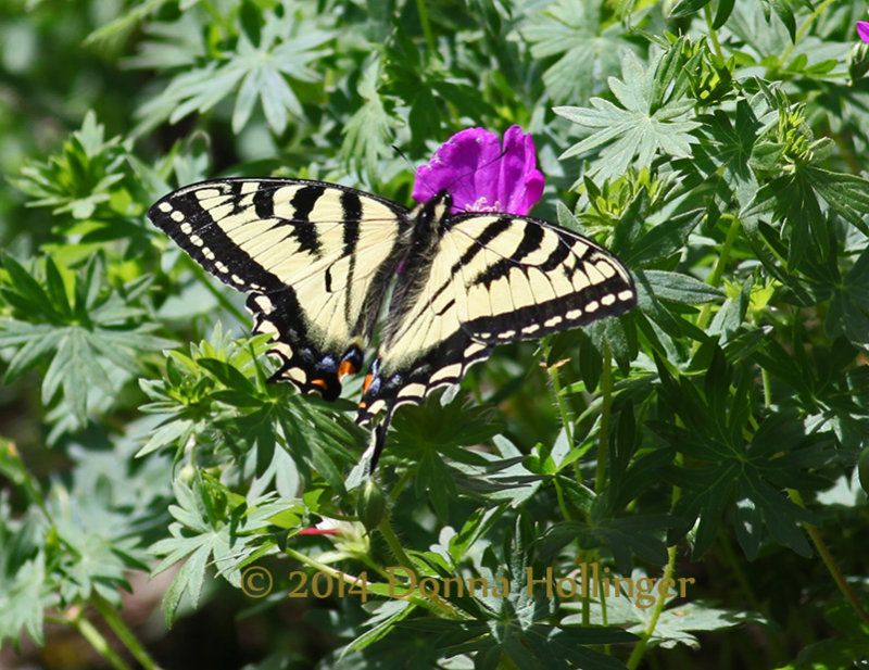 SwallowTail Butterfly on Cranesbill
