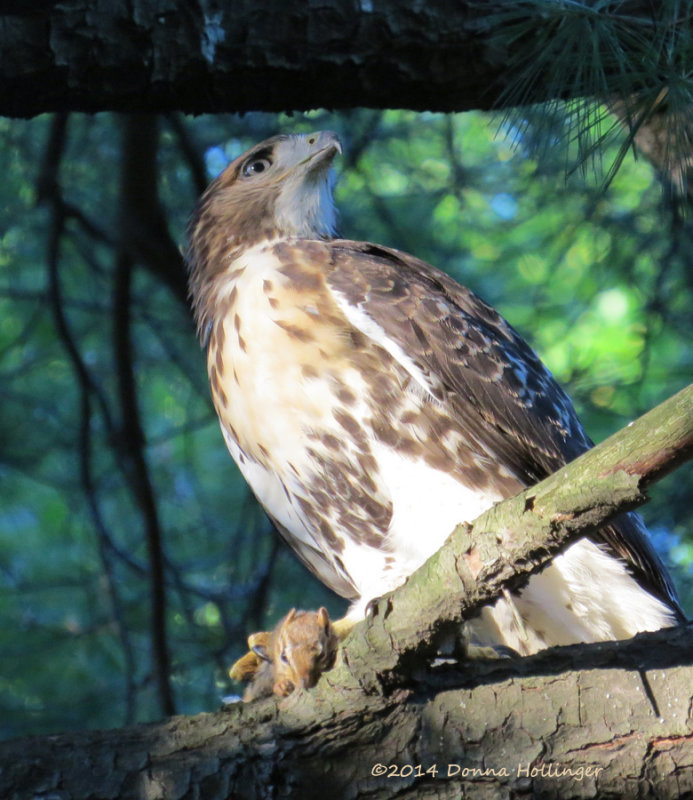 Immature RedTailed Hawk Enjoying a Chipmunk