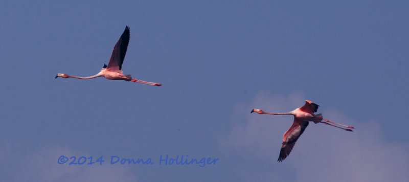Two Greater Flamingos (Phoenicopterus ruber)