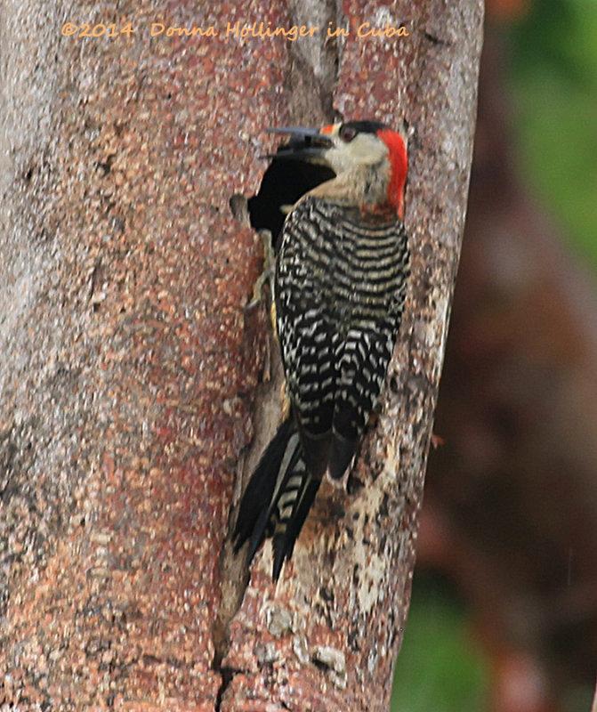 Male Woodpecker Feeding the babies inside this tree