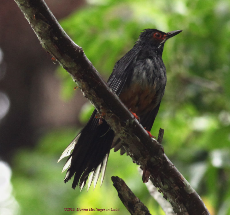 The red-legged thrush (Turdus plumbeus) is a species of bird in the Turdidae family