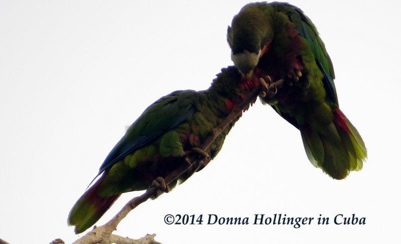 2 Cuban Parrots Grooming