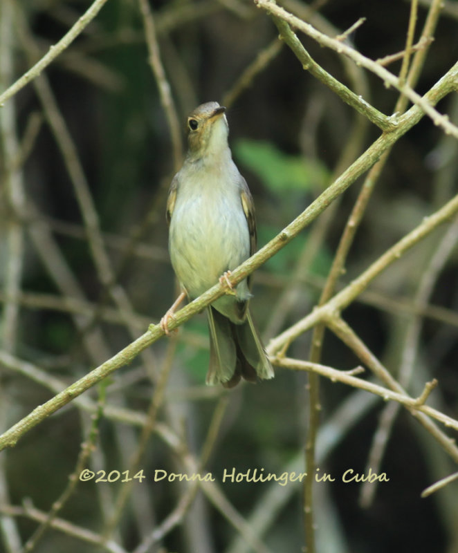 Cuban Solitaire is an Endemic Bird