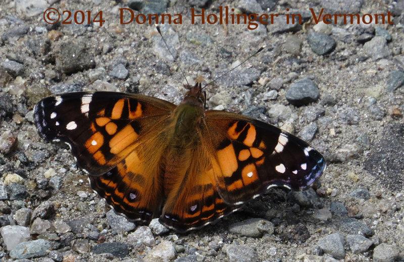 Vanessa virginiensis (American Lady Butterfly)