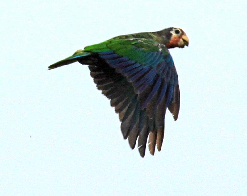 Departing Cuban Parrot