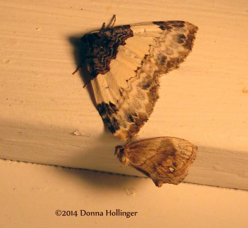 Two Moths at night