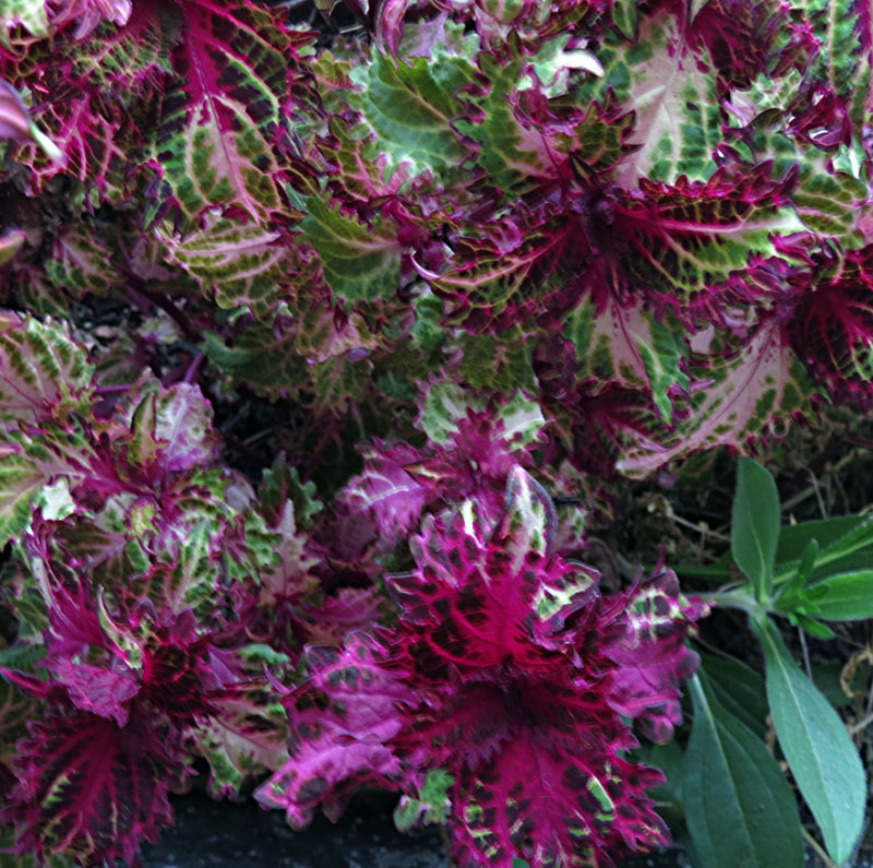 Red White Green and Black Coleus