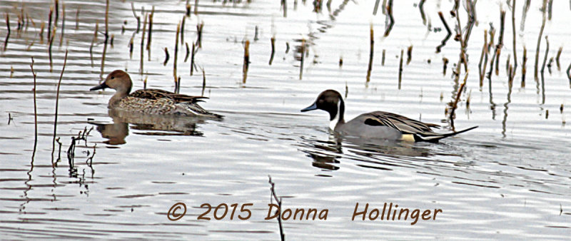 Northern Pintail and Mate