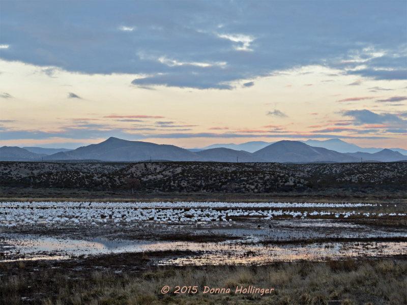 Dawn Flocks of Geese