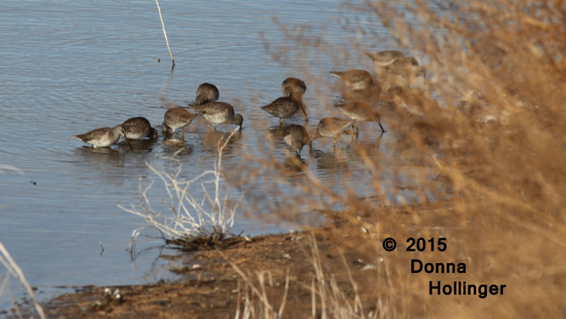 Group of Dowitchers, Long-billed