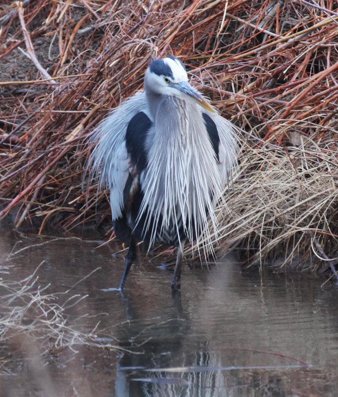Great Blue Heron Acquiring His Nuptial Plumage
