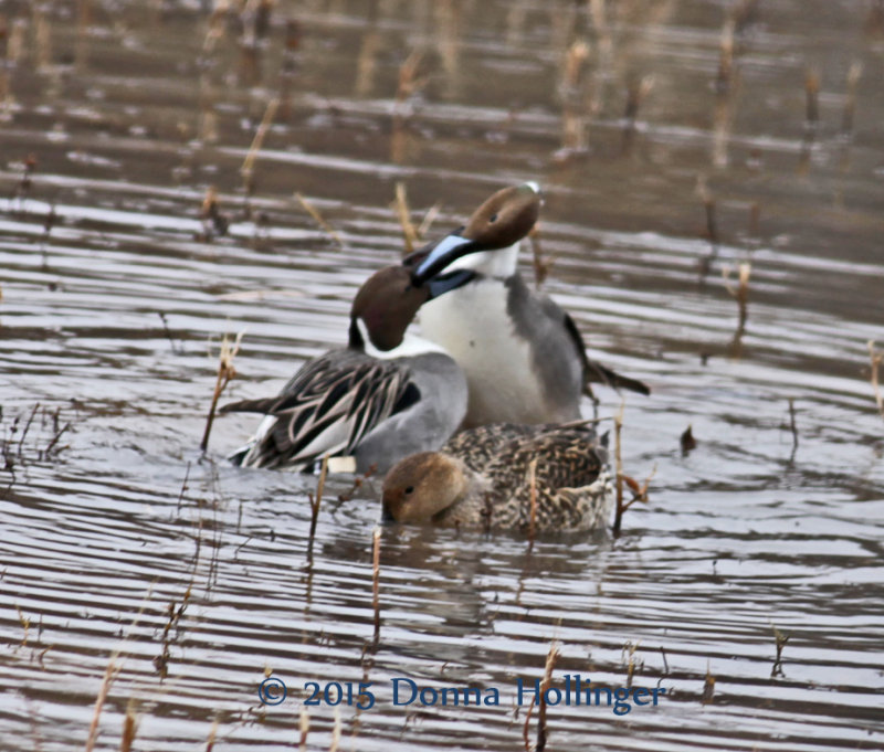 Two male Pintails fighting over the (unconcerned) female