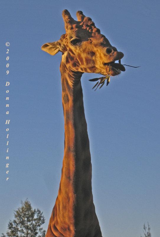 Giraffe with Bumps